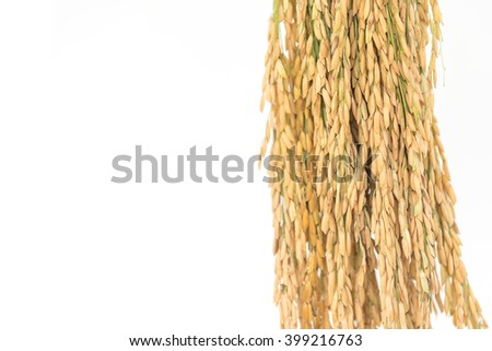 Close up Golden rice spikes, rice isolated, Ears of rice - stock photo