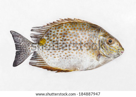 Close up Golden spinefoot or Orange-spotted spinefoot fish on white wet cloth in market with morning sunlight - stock photo