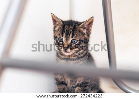 Close up Gray Domestic Tabby Pussycat with Blue Eyes, Showing a Pensive Expression While Sitting Under a Chair. - stock photo