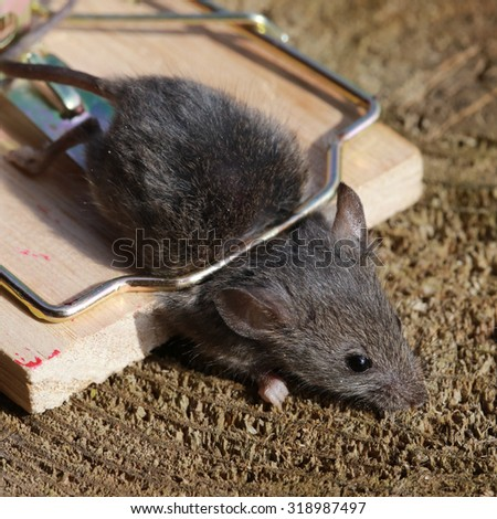 close-up gray mouse in a mousetrap on a background of sawn wood - stock photo