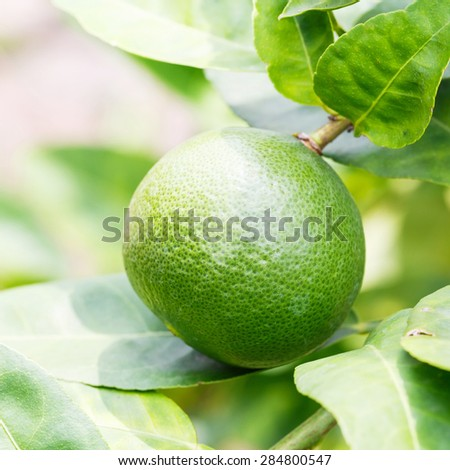 Close up green color organic lime citrus fruit on tree - stock photo
