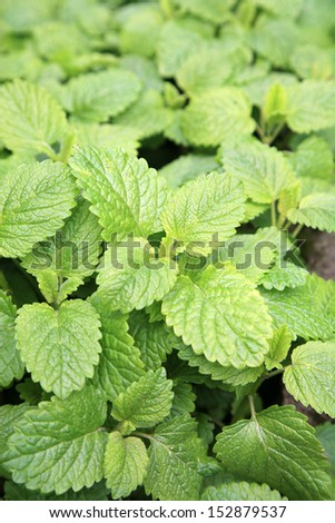 Close up green leaves of melissa officinalis - stock photo