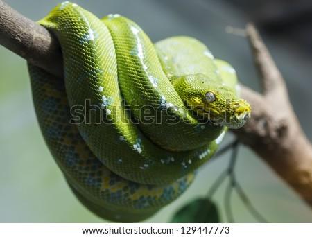 Close up green snake - stock photo