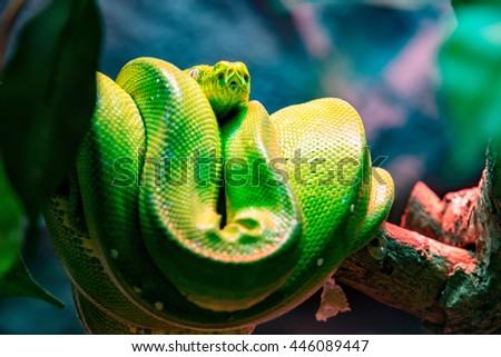 Close up green tree python. - stock photo