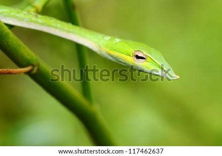 Close-Up Green Viper - stock photo