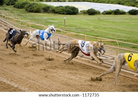 Close up - greyhounds racing on the track - stock photo