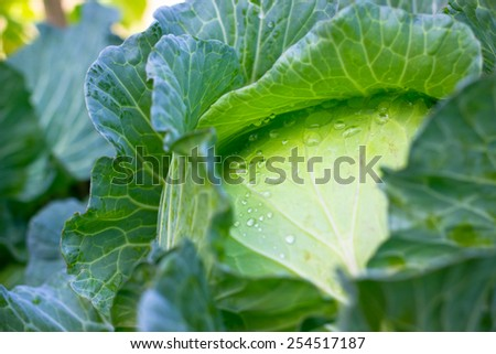 Close up half of green cabbage background - stock photo