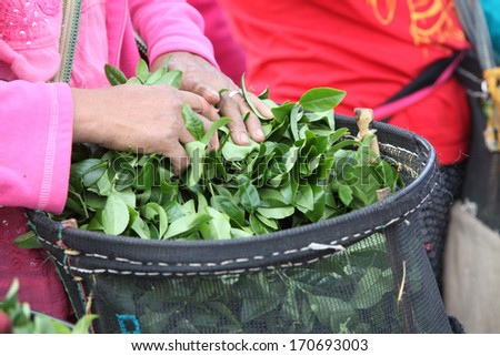 Close-up hand of woman carry and tea in basket - stock photo