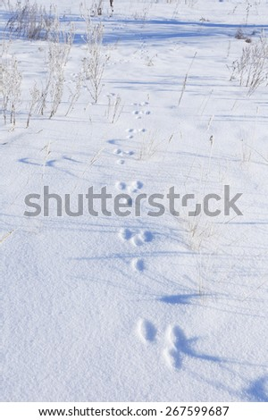 close-up hare tracks in the snow in bright sunlight early frosty morning - stock photo