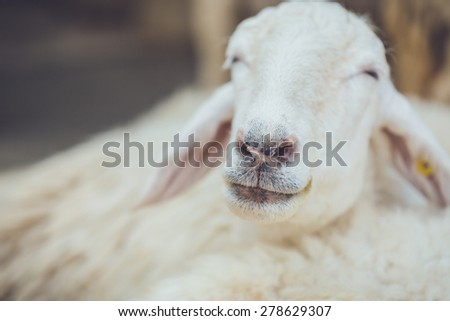 Close up head of sheep in farm at Ratchaburi, Thailand - stock photo