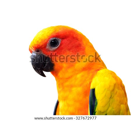 Close up head of Sun Parakeet or Sun Conure, the beautiful yellow and orange parrot bird with nice feathers details - stock photo