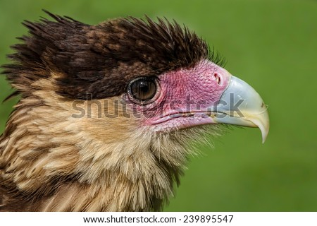 close up head portrait of a crested cara cara showing detail in feathers, beak and eye - stock photo