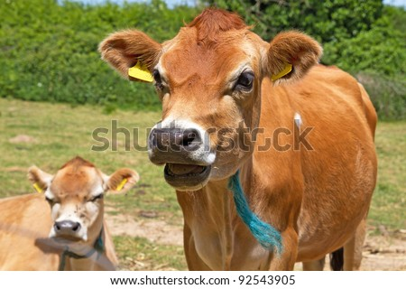 Close up head shot of a Jersey Cow - stock photo