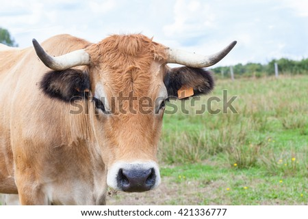 Close up head shot of a pretty Aubrac cow looking at the camera  in a summer pasture, a French breed  bred for beef and used for suckling - stock photo