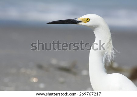 Close up head shot of an little white egret. - stock photo