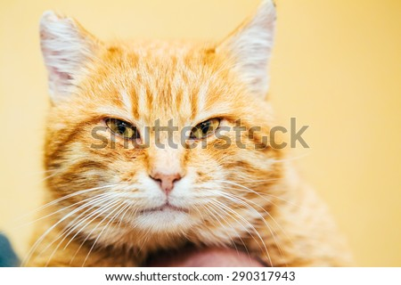 Close Up Head, Snout Of Orange Red Tabby Cat Male Kitten On Yellow Background - stock photo