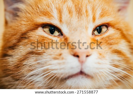 Close Up Head, Snout Of Peaceful Orange Red Tabby Cat Male Kitten Looking Up On Yellow Background - stock photo