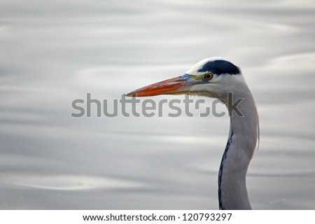 Close up Heron - stock photo