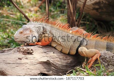 Close up Iguana standing on the wood  - stock photo