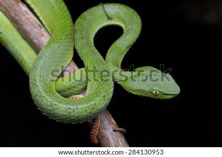 Close-up image of a green Cameron Highlands Pit Viper snake - stock photo