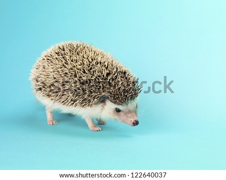 Close-up image of a hedgehog standing over turquoise background. - stock photo