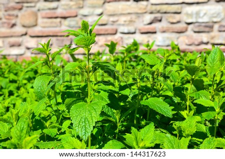 Close up image of a lemon balm bed in garden - stock photo