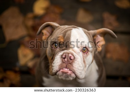 Close up image of a lilac color American Bulldog looking into the camera with it's classic under bite.  - stock photo