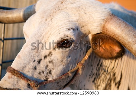 Close up image of a longhorn bull in late evening sun - stock photo