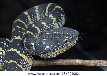 Close-up image of a venomous pit viper in ambush pose - stock photo