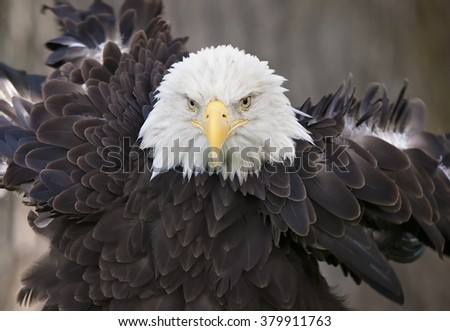 Close up image of an adult bald eagle, rousing its feathers. - stock photo