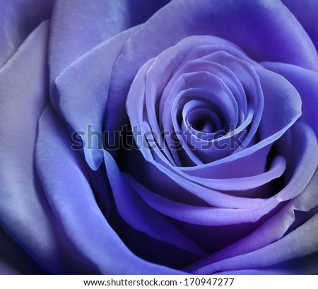 Close up image of beautiful purple rose - stock photo