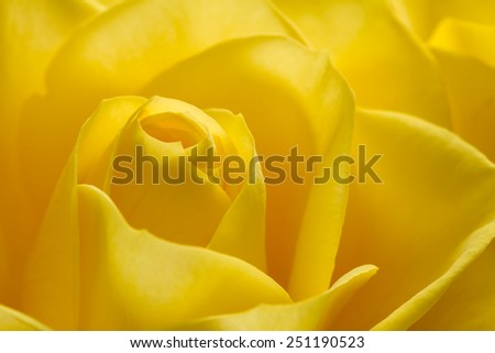 Close up image of beautiful yellow rose - stock photo