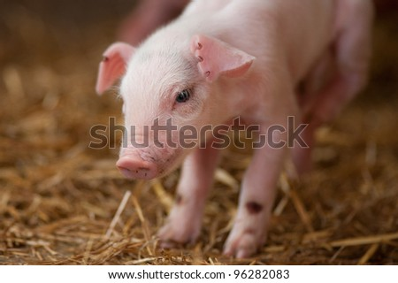 close up image of new born piglet in the hay - stock photo