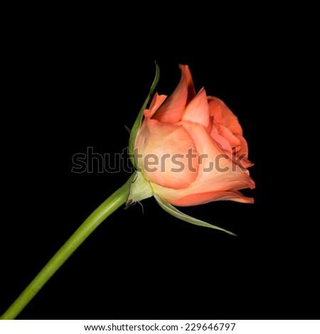 Close up image of single orange rose isolated on black - stock photo