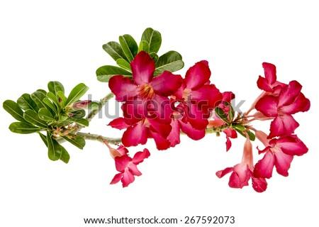 Close-up Impala Lily or  desert rose or Mock Azalea isolate on white background - stock photo