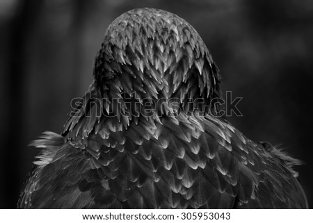 Close up in black and white of the back and neck of a beautiful eagle, crossing of steppe and golden eagle - stock photo