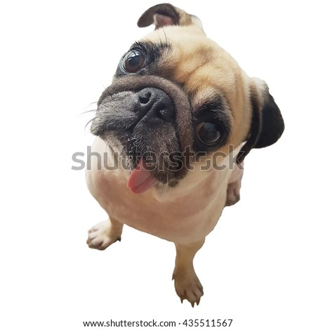 close-up isolated face cute pug dog puppy with tongue sticking out look camera in wonder and big head shot. - stock photo