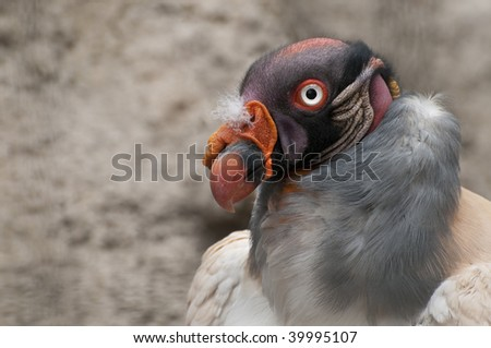 Close up King Vulture of South America - stock photo