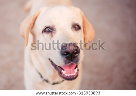 close up Labrador retriever with filter effect - stock photo