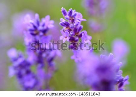 Close up  lavender  - stock photo