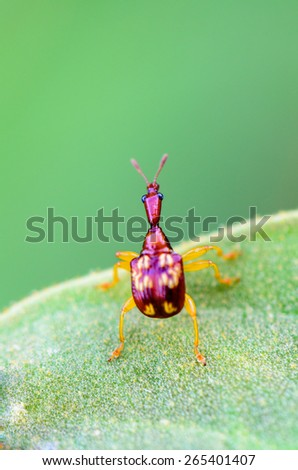 Close up Leaf Rolling Weevil or Giraffe Weevil is a type of beetle from the Curculionoidea super family on a green leaf is preparing to soar forward - stock photo