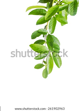 Close up leaves of creeper plant isolated - stock photo