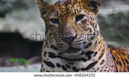 close up leopard head, Thailand, soft focus in dark light. Leopard in the dark light in evening wake up and looking around for hunting food, eye of leopard with sad feeling. - stock photo