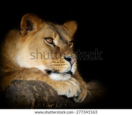 Close-up lion female portrait on dark background - stock photo