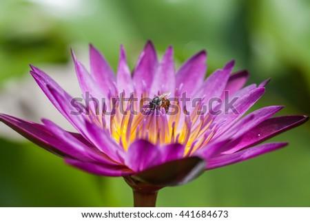 close up little bee around purple Lotus flower - stock photo