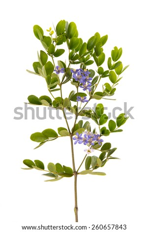 Close up little blue flowers and green leaves on white background isolated - stock photo