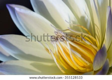 close up lotus - stock photo