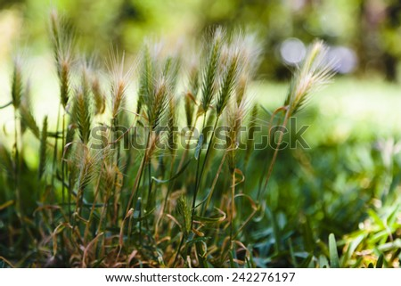 Inflorescence spike stock photos images pictures for Spiky ornamental grass