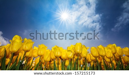 Close up low perspective image of a field of yellow tulips in the Netherlands in spring against a sunny blue sky - stock photo