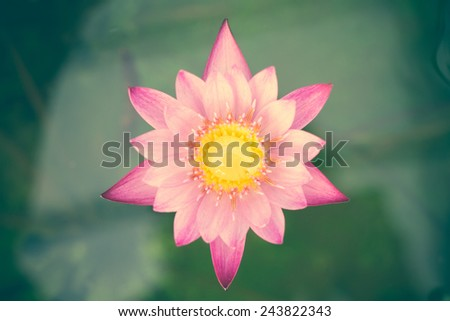 Close up macro beautiful purple lotus flower  - stock photo